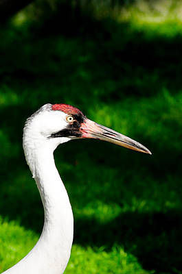 Photograph - Whooping Crane by Bonnie Fink