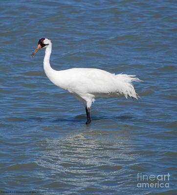 Photograph - Whooping Crane by GD Rankin