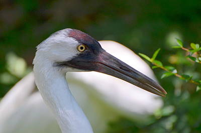 Photograph - Whooping Crane by Jodi Terracina