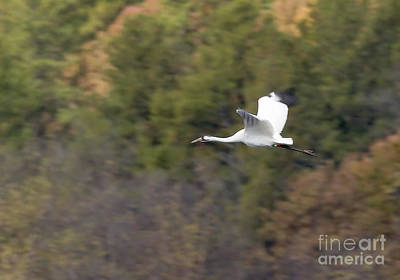 Photograph - Whooping Crane by Steven Ralser