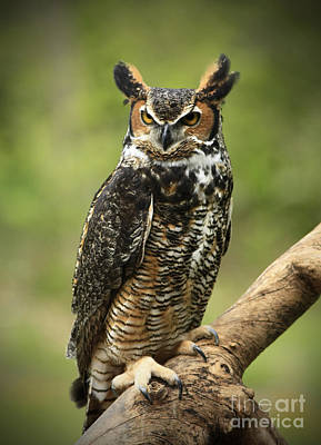 Whoos Watching Me Great Horned Owl In The Forest  Art Print