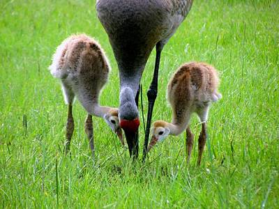 Sandhill Crane Photograph - Who's First by Zina Stromberg