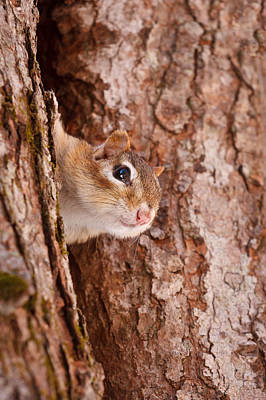 Eastern Chipmunk Photograph - Whos That Knocking On My Door by Jeff Sinon