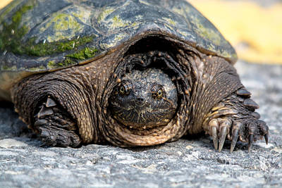 Photograph - Why Did The Snapper Cross The Road by Cheryl Baxter