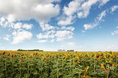 Photograph - Wide Open Fields Of Sunflowers by Sandra Cunningham