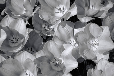Photograph - Wide Open Tulips In B W by Jeanne May