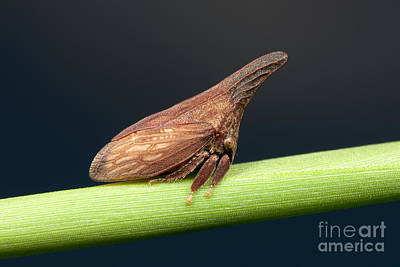 Photograph - Widefooted Treehopper II by Clarence Holmes