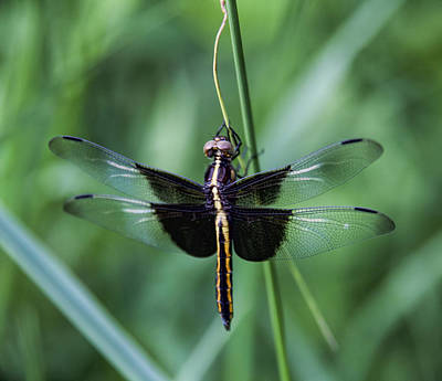 Photograph - Widow Skimmer 2 by John Crothers