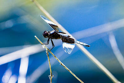Photograph - Widow Skimmer by Ben Graham