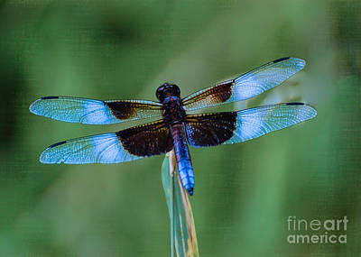 Photograph - Widow Skimmer Dragonfly by Bianca Nadeau