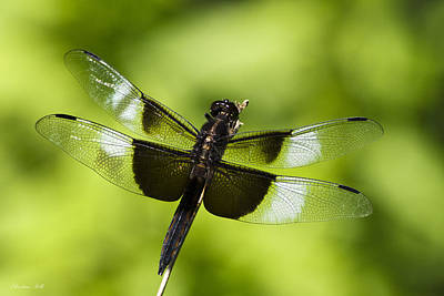 Photograph - Widow Skimmer Dragonfly by Christina Rollo