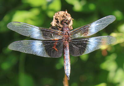 Photograph - Widow Skimmer Dragonfly by John Burk