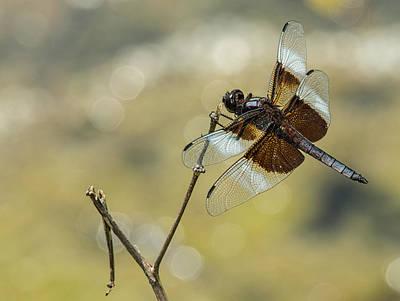Photograph - Widow Skimmer by Jim Zablotny