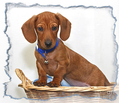 Photograph - Wiener Puppy by Susan Candelario