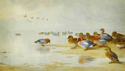Red And White Painting - Wigeon And Teal By The Waters Edge by Celestial Images