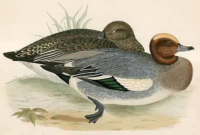 Duck Hunting Drawing - Wigeon by Beverley R Morris