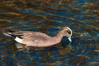 Photograph - Wigeon Ripples by Kathleen Bishop