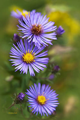 Photograph - Wild Aster Trio by Christina Rollo