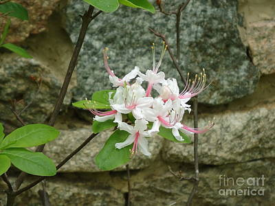Photograph - Wild Azalea by Katie Spicuzza