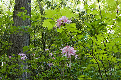 Photograph - Wild Azaleas by Chris Scroggins