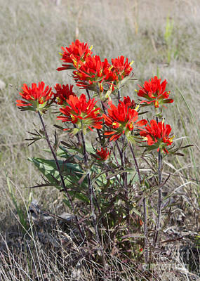 Photograph - Wild Beauty Of Indian Paintbrush by Barbara McMahon