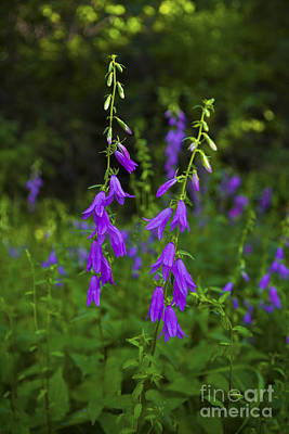 Photograph - Wild Bells by Barbara Schultheis