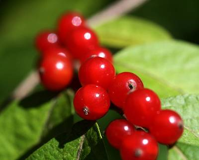 Nature Photograph - Wild Berries by Lisa Vaccaro