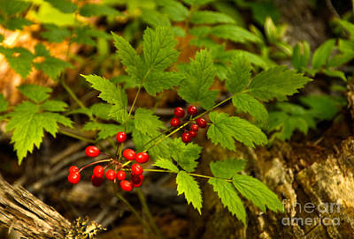 Art Print featuring the photograph Wild Berries by Sam Rosen