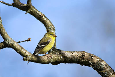 Wild Birds - American Goldfinch Print by Christina Rollo