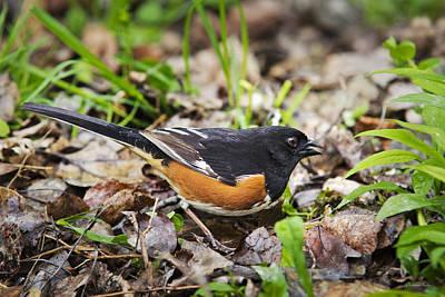 Photograph - Eastern Towhee Bird by Christina Rollo