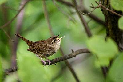 Wild Birds - House Wren Print by Christina Rollo