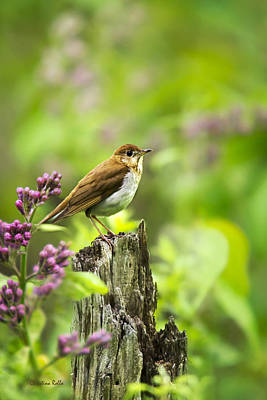 Photograph - Wild Birds - Veery by Christina Rollo