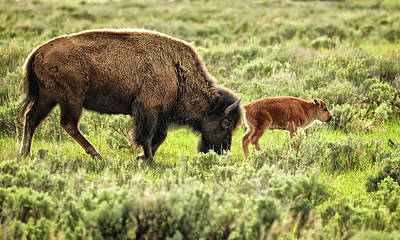 Wild Bison Cow And Calf Art Print by Jeff R Clow