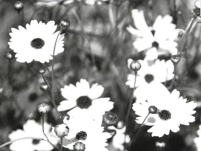 Photograph - Wild Black And White Daisies by Belinda Lee