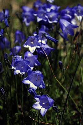 Photograph - Wild Blue Bells by Edward Hawkins II