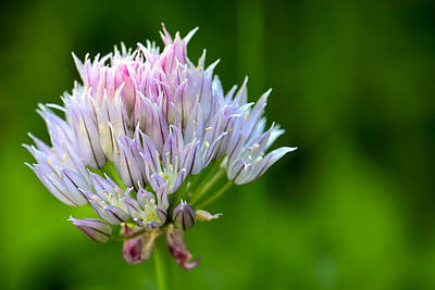 Isolated Photograph - Wild Blue - Chive Blossom by Adam Romanowicz
