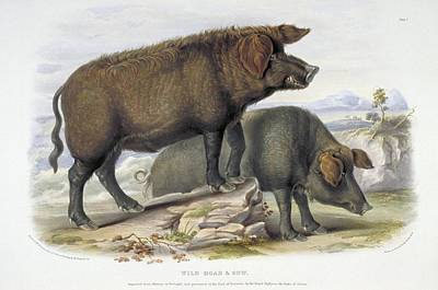 Wild Boar, 19th Century Artwork Art Print by Science Photo Library