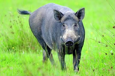 Boar Photograph - Wild Boar by Colin Varndell