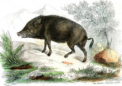 Boar Photograph - Wild Boar by Collection Abecasis