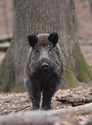 Photograph - Wild Boar by Dragomir Felix-bogdan