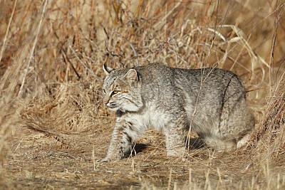 Bobcat Wall Art - Photograph - Wild Bobcat On Prowl In Tall Grass by Paul E Tessier