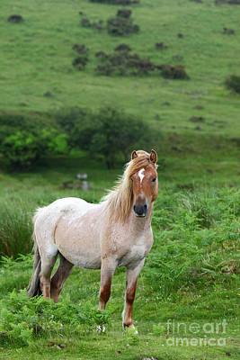 Bodmin Photograph - Wild Bodmin Pony by James Brunker