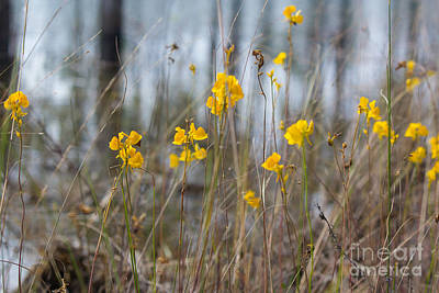 Photograph - Wild Buttercups  by Rene Triay Photography