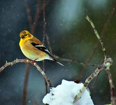 Art Print featuring the photograph Wild Canary by John Harding
