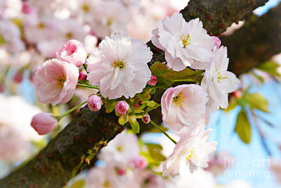 Natur Photograph - Wild Cherry Blossom by Angela Doelling AD DESIGN Photo and PhotoArt