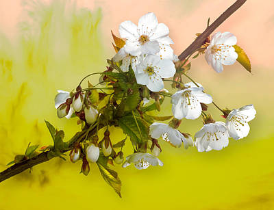 Photograph - Wild Cherry Blossom Cluster by Jane McIlroy