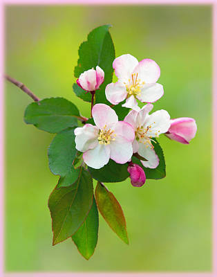 Photograph - Wild Cherry Blossoms by Carolyn Derstine