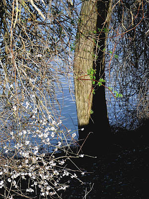 Spring Greening Photograph - Wild Cherry Tree On The Sacramento River  by Pamela Patch