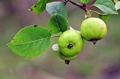 Rosaceae Photograph - Wild Crab Apples by Colin Varndell