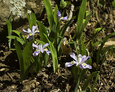 Photograph - Wild Crested Iris Lost Valley  by Michael Dougherty